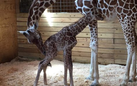 Pregnant Giraffe Finally Has Baby Boy