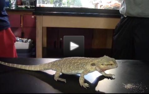 Meet Spartacus: Mrs. Ori's Class Pet