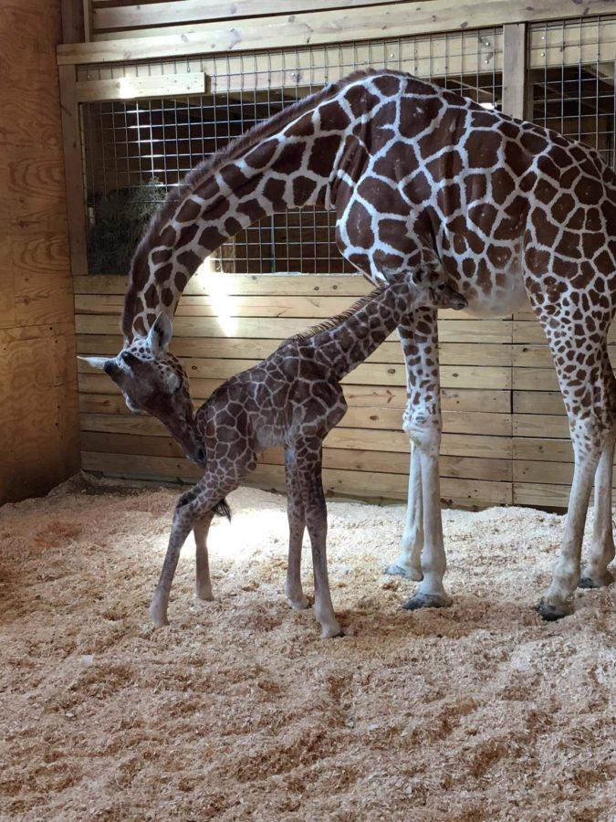 Pregnant Giraffe Finally Has Baby Boy