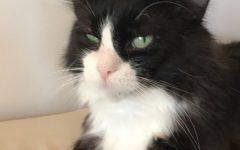 Carlotta, a cat up for adoption, at Mauhaus Cat Cafe